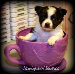 Spunkypaws Chihuahuas - This is NOT a teacup chihuahua!  It's a chihuahua pup in a cup.