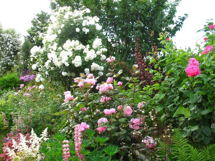 Les 25 meilleures id es de la cat gorie rosier arbuste sur - Comment tailler un rosier buisson ...