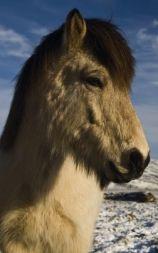 Islandshesten måler vanligvis mellom 120 og 150 cm i mankehøyde, men kan bli høyere. Av gemytt er de fleste rolige og følsomme, og lette å håndtere. Raseeksemplarer kan oppnå særdeles høy alder, og kan ofte ris i en alder av oppmot 30 år.