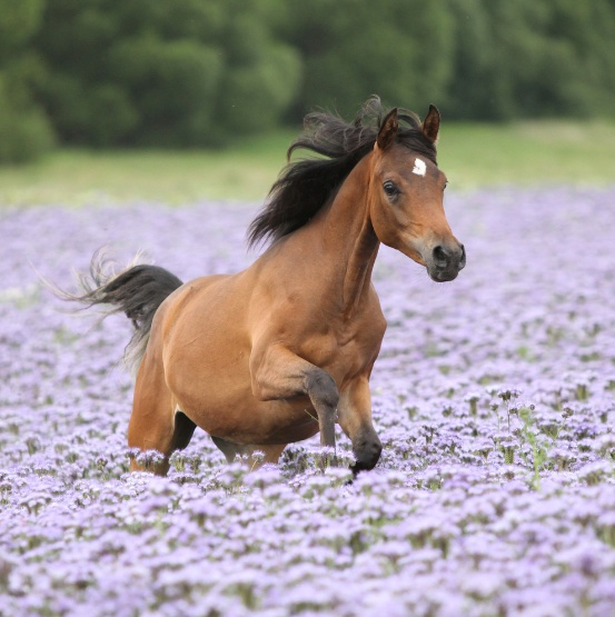 Young horse running through a meadow full of flowers.