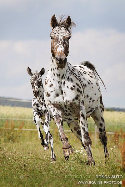 The Appaloosa almost disappeared in 1876 when tribal lands were seized by the US Government. Indians were being moved onto reservations. The Nez Perce did not surrender peacefully and ended up conducting a fighting retreat through the mountains. Their goal was to seek sanctuary in Canada, but after a march of about 1,300 miles they were forced to surrender in the Bear Paw Mountains of Montana, just short of the border. Their belongings were confiscated and their horses were slaughtered.