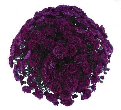 Love dark purple mums! Would look so pretty in an arrangement with those blue-gray pumpkins!