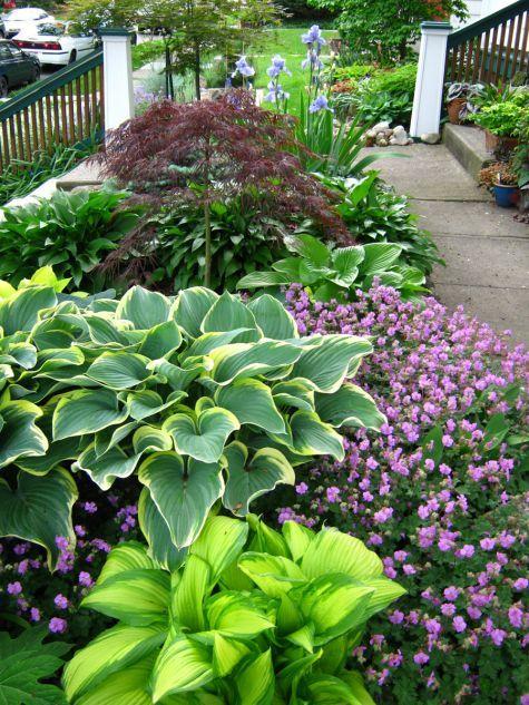 Front yard garden with hostas 'Choco Nishiki' and 'Sagae', Geranium macrorrhizum, and a Japanese maple