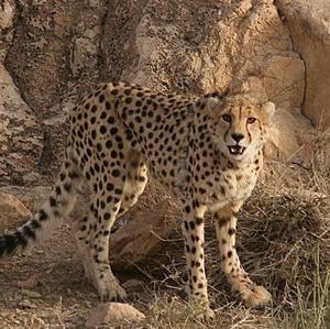 An Asiatic Cheetah, a critically endangered species of cheetah.