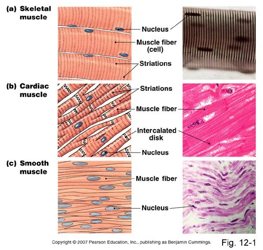 Skeletal muscle is responsible for all voluntary movements, such as running . Also involved in  involuntary actions, such as breathing, shivering and maintaining posture.  Cardiac muscle is responsible for the beating action of the heart.  Smooth muscle creates the movement in many hollow internal organs, such as the gut, bladder, and blood vessels, and is under the control of the autonomic nervous system.  All 3 muscle types use the same sliding filament mechanism.  (6/18/2013) Anatomy…