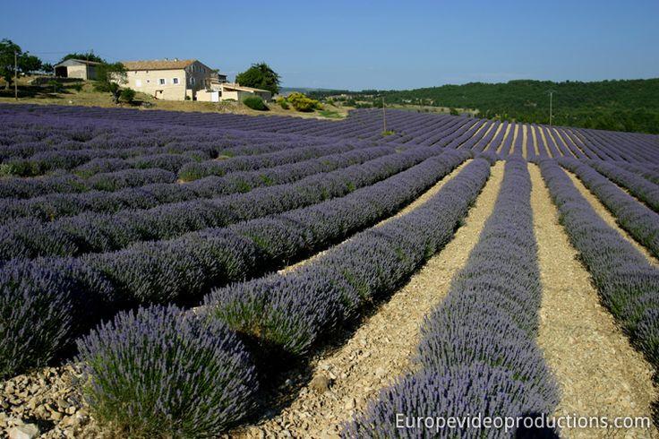 Lavendel in Sault in der Provence, Frankreich