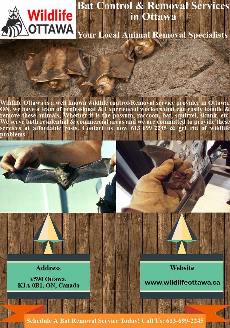 Bat control removal services in ottawa removal