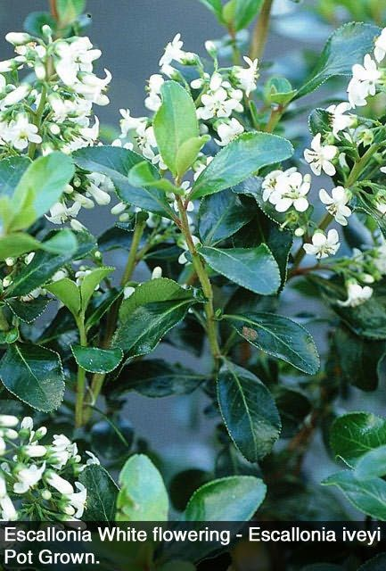 A fast evergreen hedging plant with glossy dark green leaves that can form a dense hedge of up to 3 metres high. Escallonia is particularly suited to the coastal garden. It is suitable to all soils but does prefer full sun. It responds very well to clipping and flowers continuously from early summer to mid-autumn. Escallonia is one of the few hedges which will produce a respectable show of blossoms even if regularly clipped.