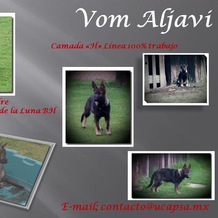 Compártelo por favor si conoces a alguien interesado en comprar una cachorra Pastor Alemán de gran calidad genética..Tel: 58480355