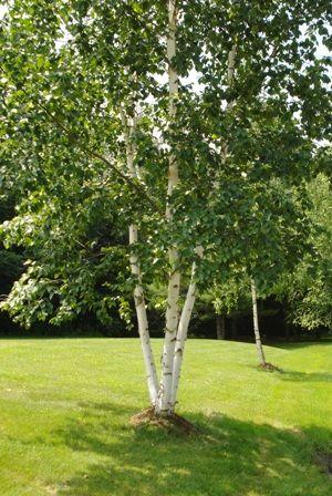 About Birch Trees Garden Types Of Birch Trees White