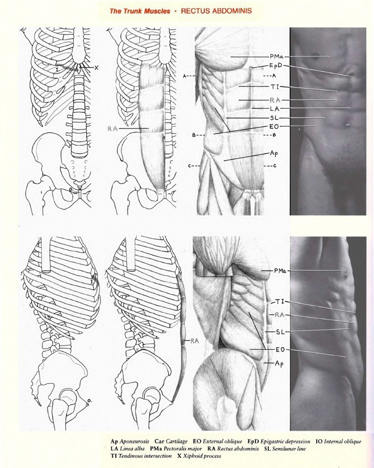 205 best anatomy images on Pinterest | Anatomy reference, Drawing ...
