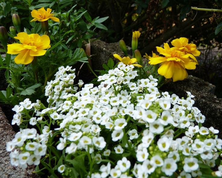 French Marigold 'Durango Yellow' (Tagetes patula) and Sweet Alyssum 'Clear Crystal White' (Lobularia maritima)