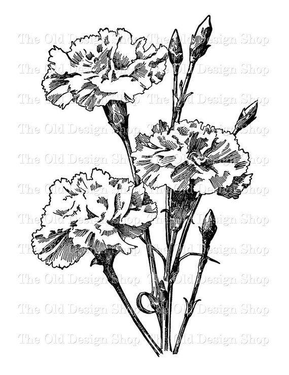 Carnation Flower Vintage Illustration Digital Stamp Transfer Image Flower Drawing Carnation Drawing Flower Art