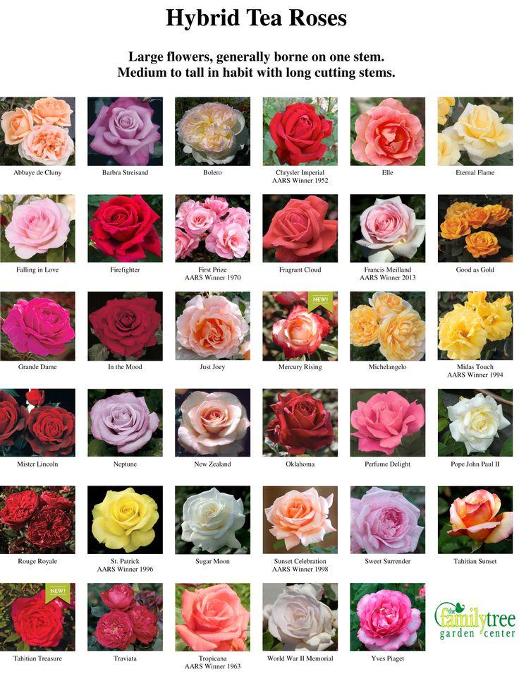 каталог сортов роз с картинками флористика много