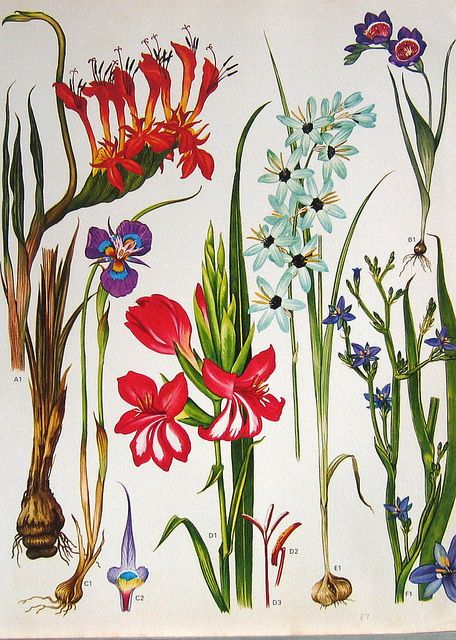 Some of my ultimate favourate Fynbos Iridaceae flowers in one shot! From left Babiana ringens, Moraea sp., Gladiolus carneus, Ixia versicolor, Aristea sp. and Babiana sp.