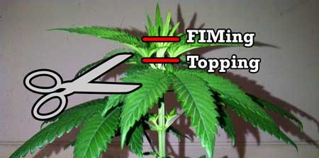 FIMing and Topping are two of the most effective cannabis growth techniques to achieve multiple cannabis colas.