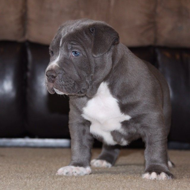Manmade Kennels Produce The Best Xl Pitbull Puppies On Earth We