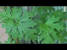 Pelargonium Citrosum (Geranio Oloroso) - 4K - YouTube