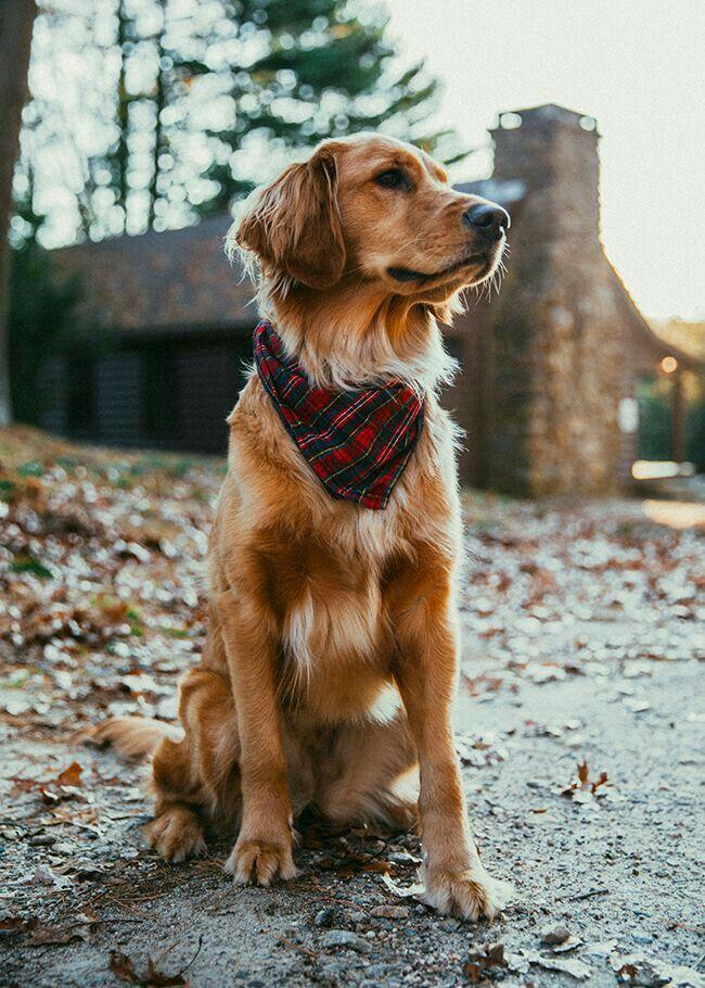 Pin By La Renia Aya 3 On Cute Dogs Dogs Golden Retriever Dogs