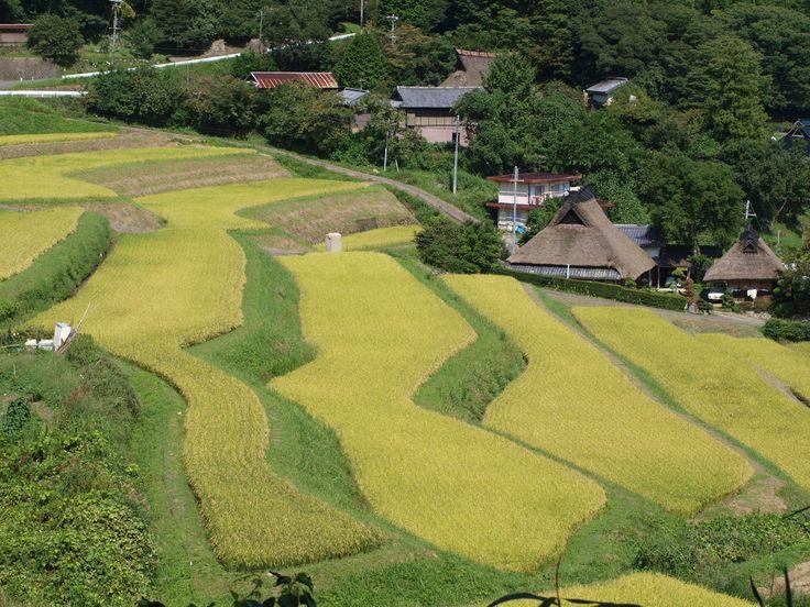 黄金色の棚田:大阪府能勢町