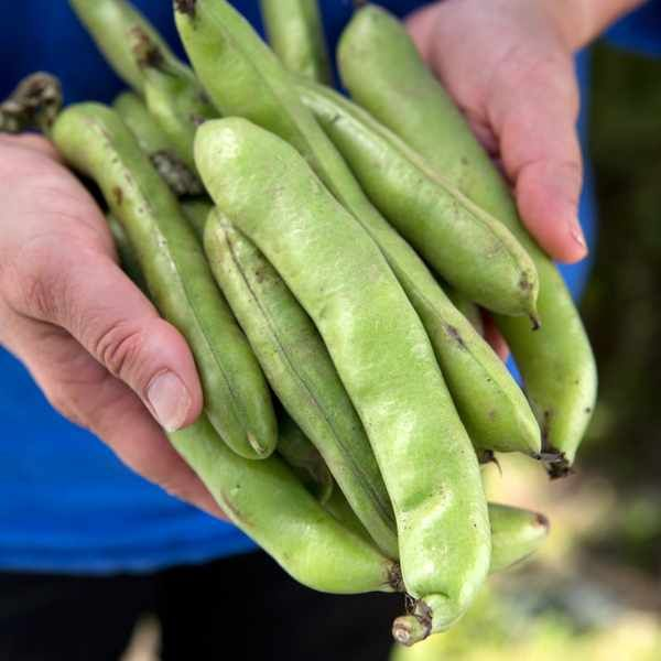 How To Grow Broad Beans Broad Beans Growing Beans Bean 400 x 300