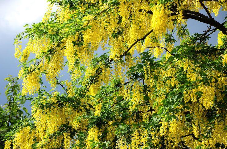 Акация, цветение, желтая, дерево, ветки, зелень обои ...