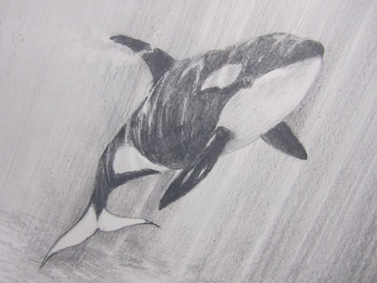 Whale Drawings | Trevor's dramatic drawing of an orca whale in preparatiion for his ...