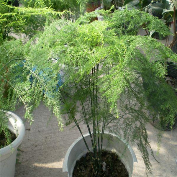 Características e cultivo do Aspargo-samambaia (Aspargus setaceus).