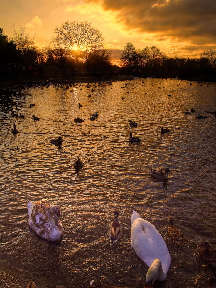 Sunset wif de swans at Slimbridge Wildfowl Reserve, Awre, Gloucestershire_ England