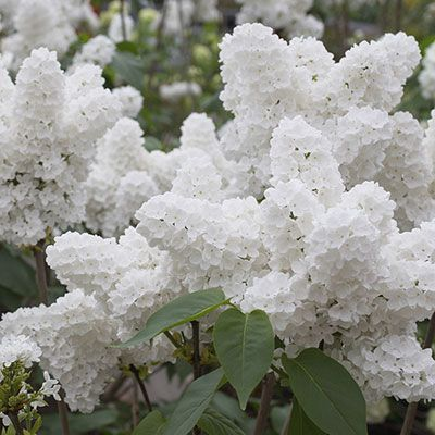 Angel white lilac, beautiful. Especially if you live in the lilac city!