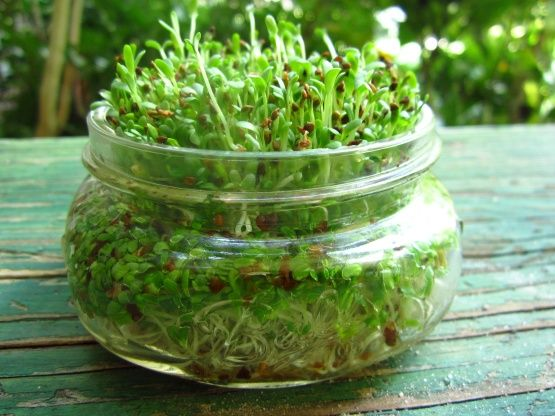 Growing Alfalfa Sprouts Recipe - Food.com