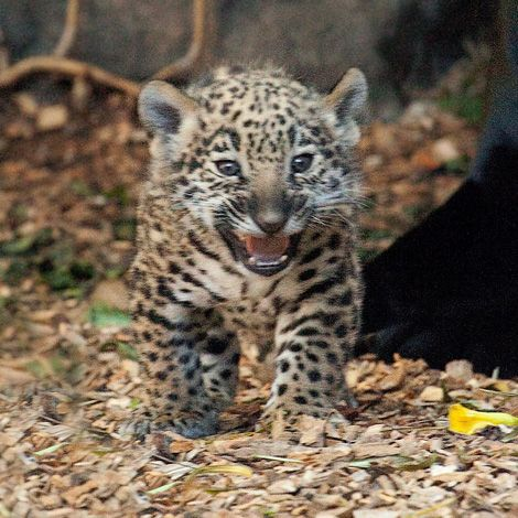 Baby-Jaguars-at-Loro-Parque-3a | Girly girls | Pinterest