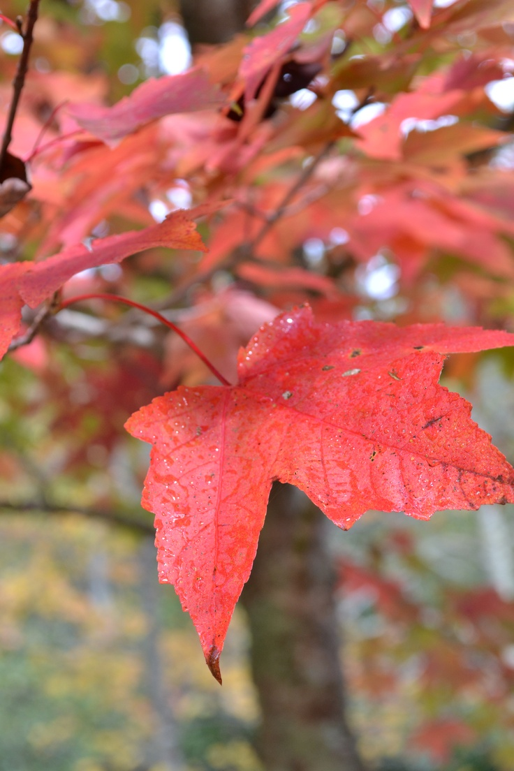 Simply RedBeautiful Leaf, Nancy Photography, Nancy'S Photography, Misc Plants, Beautiful Nature, Simply Red