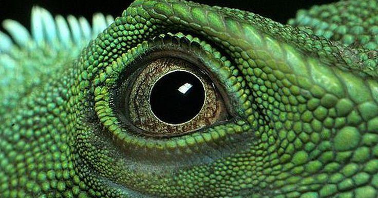 Cómo cuidar de un dragón de agua chino. Los dragones de agua chinos están convirtiéndose, cada vez más, en la opción más popular en cuanto a lagartos como mascotas. Aquí tienes cómo debes cuidar de uno.