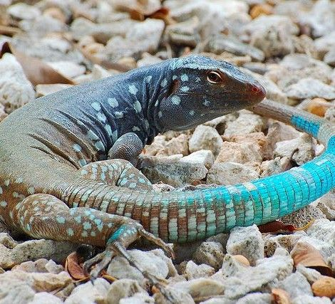 Whiptail Blue Lizard