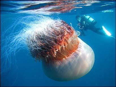 HUGE! Lions mane jellyfish.