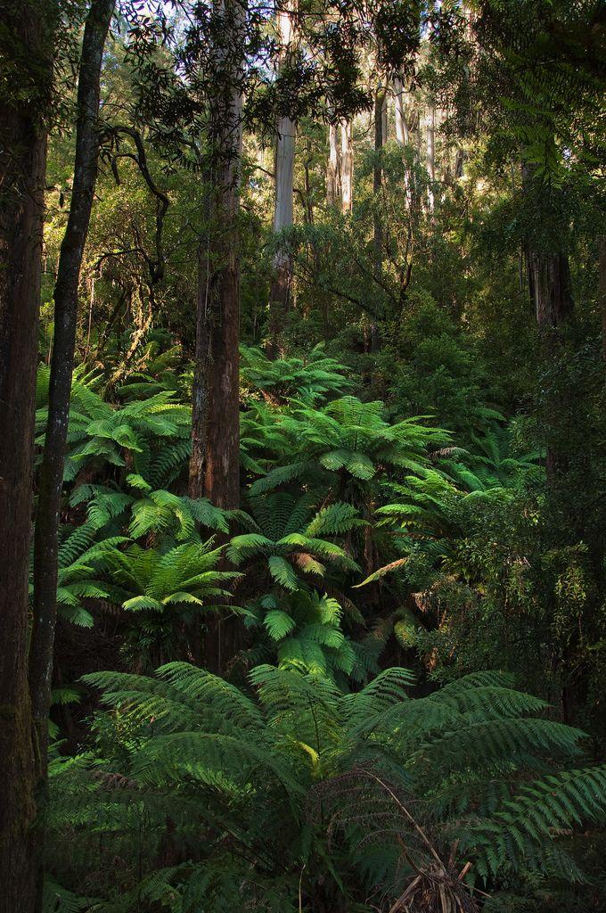 New Zealand ferns in the bush.