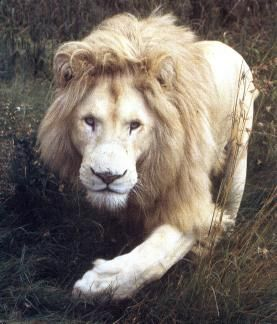 Rare genetic anomaly, blue-eyed and amber-eyed lions who are genuinely white, not albinos.