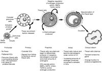 Theca: the forgotten cell of the ovarian follicle J M Young and A S McNeilly