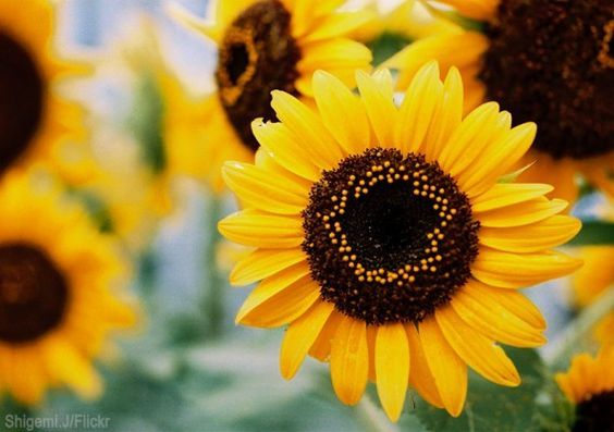 12 Sunflowers For Your Garden | Sunflowers have multiple uses on the farm. Here are some of our favorites so you decide which type is best for you.