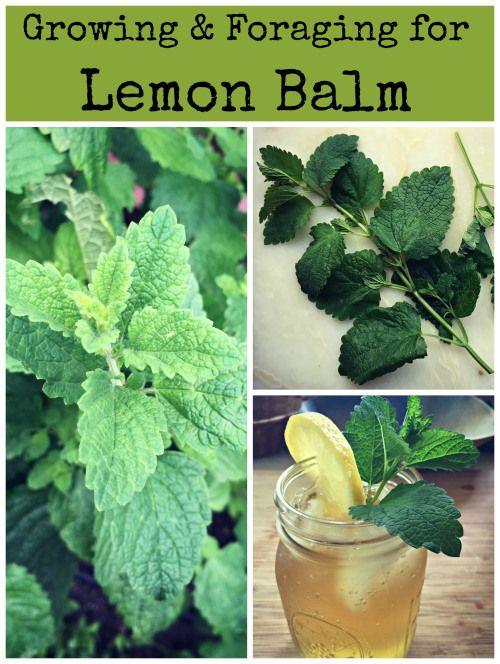 growing and foraging lemon balm + lemon balm iced tea