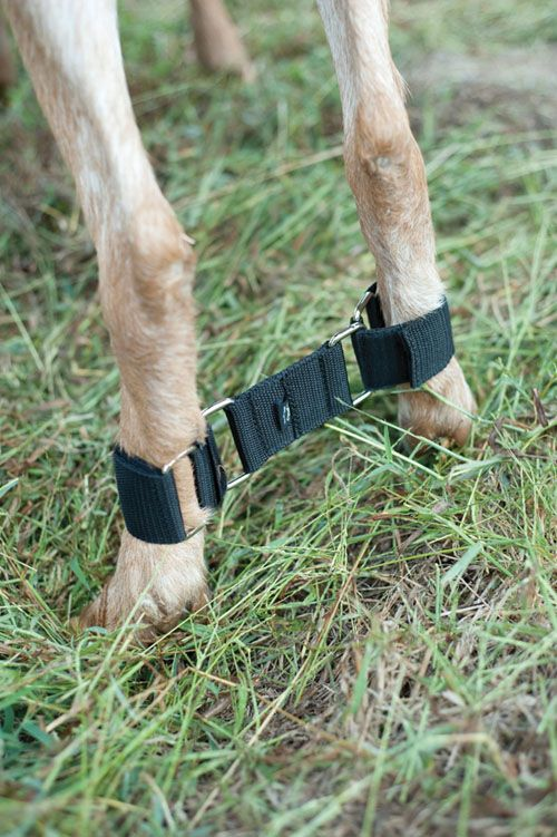 Goat Hobble. An absolute must for milk stand training and/or impatient and fiesty does.
