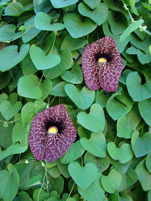 Dutchman's pipe vine. This will attract pipevine swallowtail butterflies. this is on my lust list /ATTRACTS: Pipevine Swallowtail Butterflies (Aristoluchia Durior). An important host plant. Can grow up to 30 Ft high the 1st season. Plant on a trellis, fence or tree. Can be devided. Water during dry conditions. Deciduous. An old fashioned favorite.