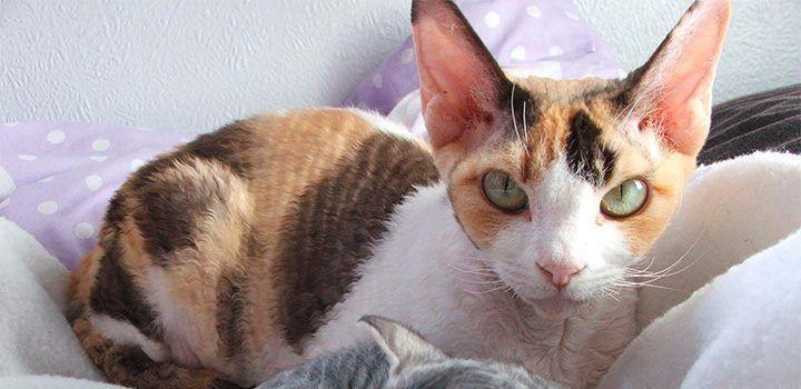 Raza de gatos Devon Rex