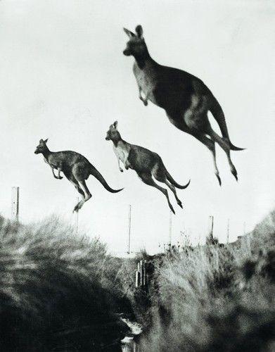 #Kangaroos #Australia || A•