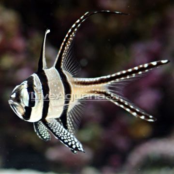 saltwater aquarium fish for marine aquariums kaudern 39 s