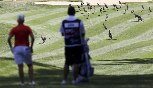 Feb. 15, 2013: Karrie Webb waits for the kangaroos to clear the fairway during the Australian Open at Royal Canberra Golf Club in Canberra, Australia. (© Stefan Postles/Getty Images)