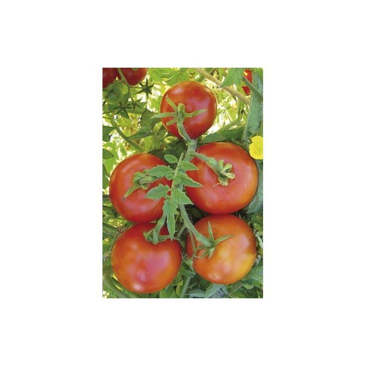 Paradajka poľná zakrpatená Saint Pierre - semená paradajky - semiačka - 15 ks