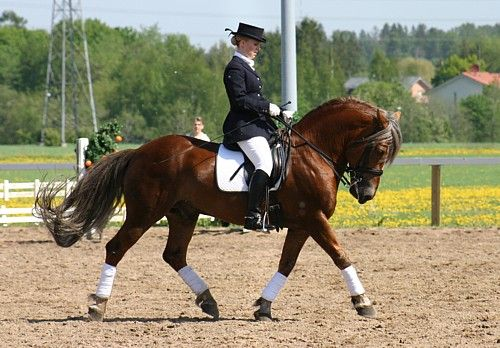 """The Finnhorse is claimed to be among the fastest and most versatile """"coldblood"""" breeds in the world. In Finland, the term """"universal horse"""" is used to describe the Finnhorse and breeds such as the Fjord horse that are relatively small with a body type that is heavy for a riding horse but light for a draught. Img: 27.5.2007 in a Horsefestival. Finnhorse stallion """"Pelko""""."""