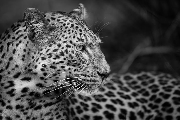 A close up of the Mashaba female shows great detail but also adds emotion to the image, especially converted into black and white. Photograph by Trevor Ryan McCall-Peat